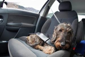 Müssen Sie Ihren Hund anschnallen? Eine Anschnallpflicht gilt zwar nicht, aber er muss gesichert werden.